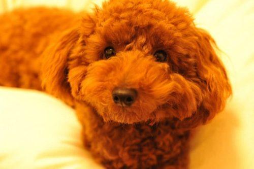 トイプードルも注意したい犬の「てんかん」痙攣が起きたらどうする?