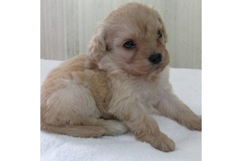 人気上昇中のミックス犬「キャバプー」はどんな犬?性格や特徴を紹介