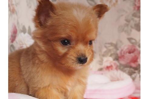 ミックス犬チワプーの性格・寿命・特徴は?子犬はどこから迎える?