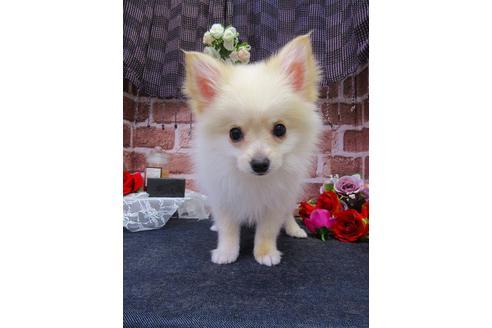 ミックス犬のポメチワはどんな犬?性格や寿命、鳴き声までをご紹介