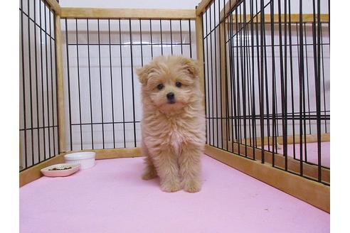 ポメプーの性格・特徴・寿命は?飼いやすい?両親犬のどっちに似る?