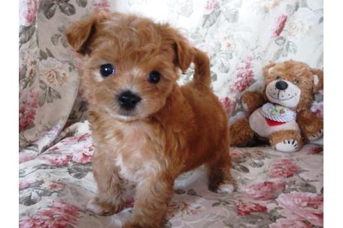 ミックス犬のマルプーはどんな犬?見た目や寿命、性格まとめ