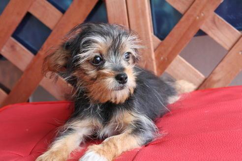 ミックス犬のヨーチーってどんな犬?性格や特徴、寿命などをご紹介