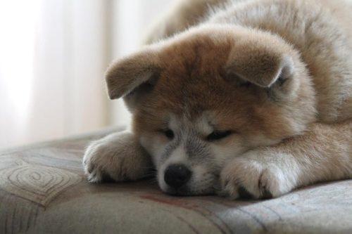秋田犬がしやすい病気やケガって?事前に知って万が一に備えよう