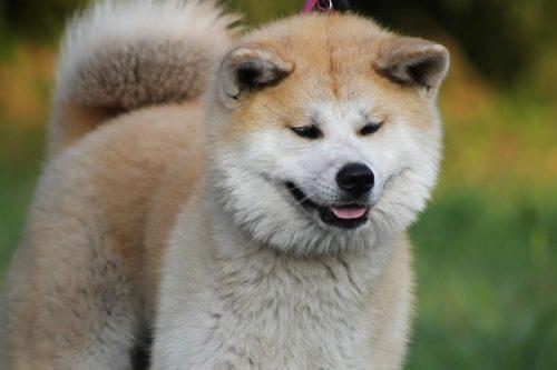 噛む力が強いからこそ要注意!秋田犬の噛み癖をしつけるには?
