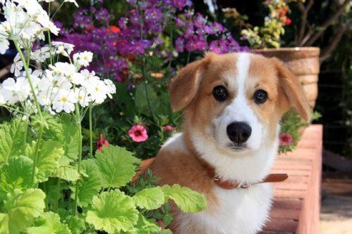 チャンピオン犬ってどうやって決まるの?必要な条件や費用などを解説