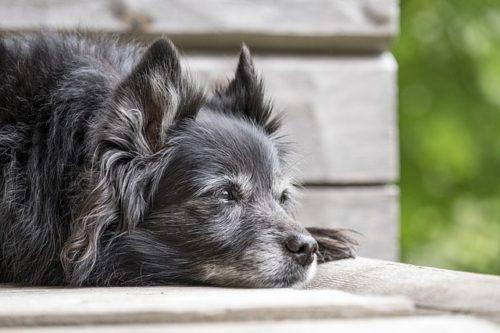 老犬を介護するポイントって?食事や夜鳴きなどの対策方法を紹介