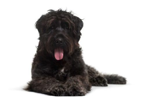 日本で1頭しか飼われていない!珍しいワンちゃん8犬種をご紹介