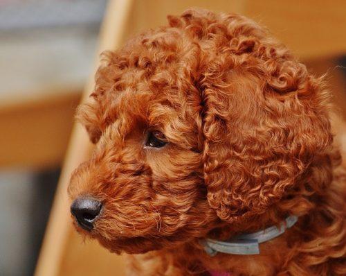 トイプードルの子犬をお迎えする前に知りたい「社会化」とは?