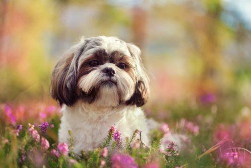 シーズーってどんな犬?歴史や寿命、大きさ、性格などをまとめて紹介