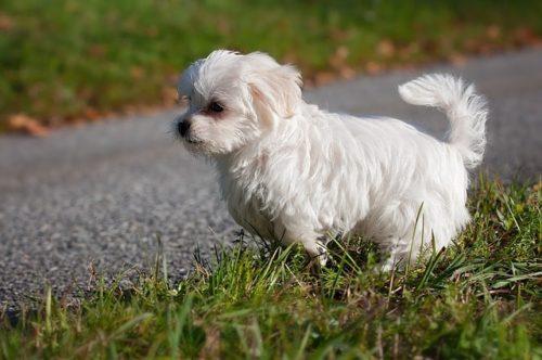 愛犬の目の周りが赤い!マルチーズなどは注意したい涙やけの原因と対策