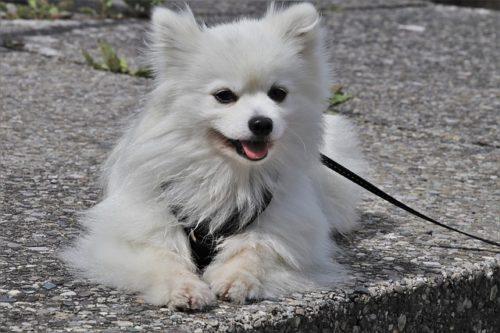 散歩中のスピッツ犬