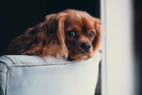 ソファーに座る子犬
