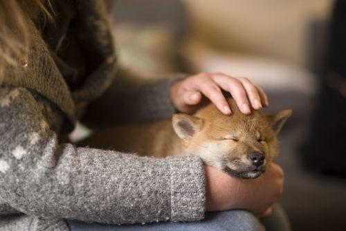 膝の上で眠る柴犬の子犬