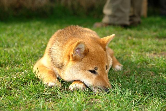 【柴犬の目やには病気?】注意が必要な色・考えれらる病気・目のケア