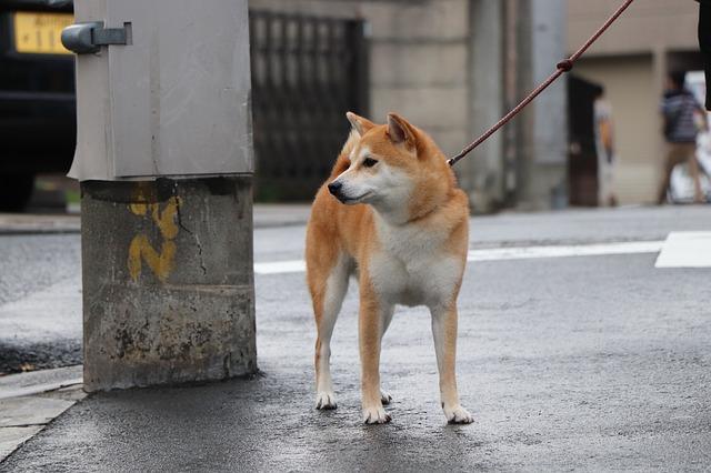 柴犬の散歩はいつから
