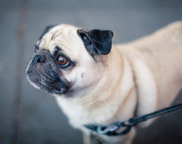 パグの散歩時間と回数はどのくらい?必要なしつけや子犬と成犬の違い