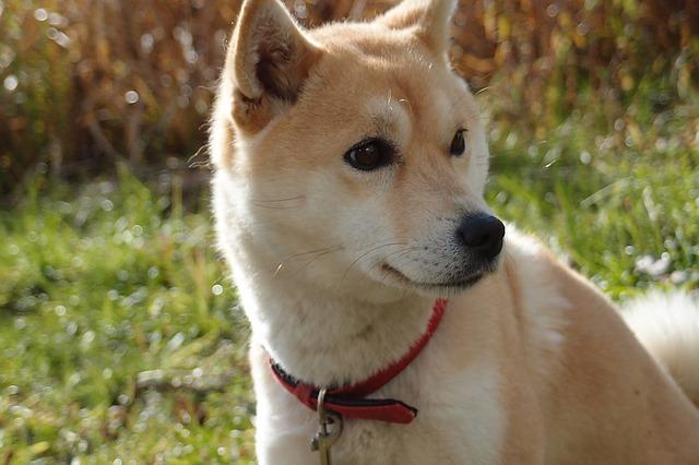 【柴犬の性格や特徴】飼いやすい犬種?しつけや飼い方は?