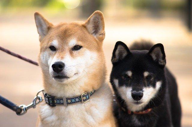 【飼い主様の声】柴犬を飼うときに気を付けたほうがいいこと!