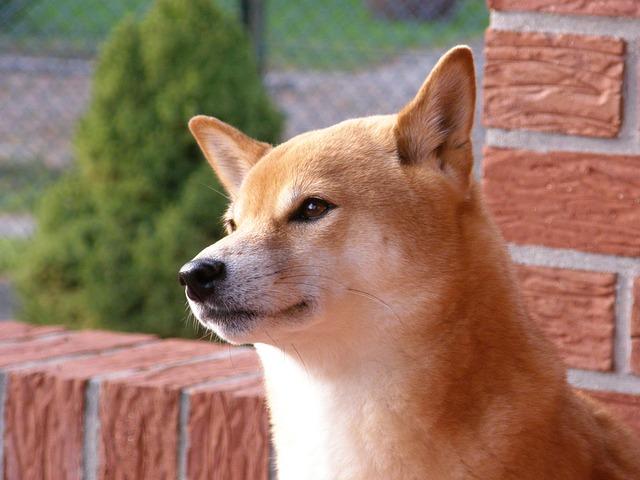 柴犬に歯磨きは必要?おすすめのやり方やいつから始めるかを解説