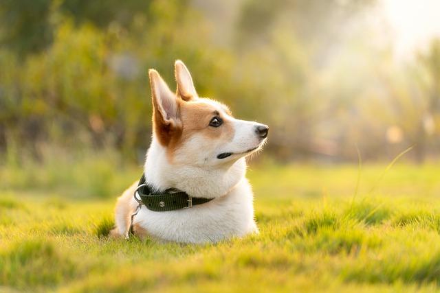 コーギーは3種類に分けられる?毛色や代表的なミックス犬も