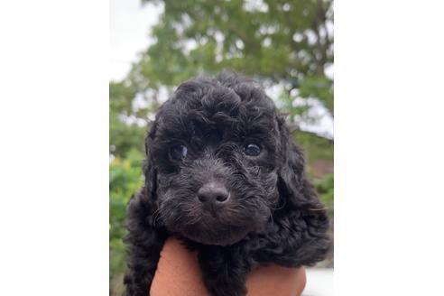 神奈川 トイプードル トイプードルの子犬はブリーダーから!東京で自家繁殖のおすすめ犬舎|トイプードルといっしょ