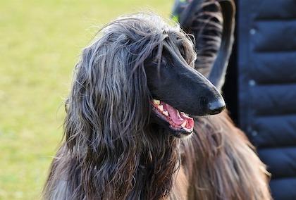 ハウンド 子犬 アフガン