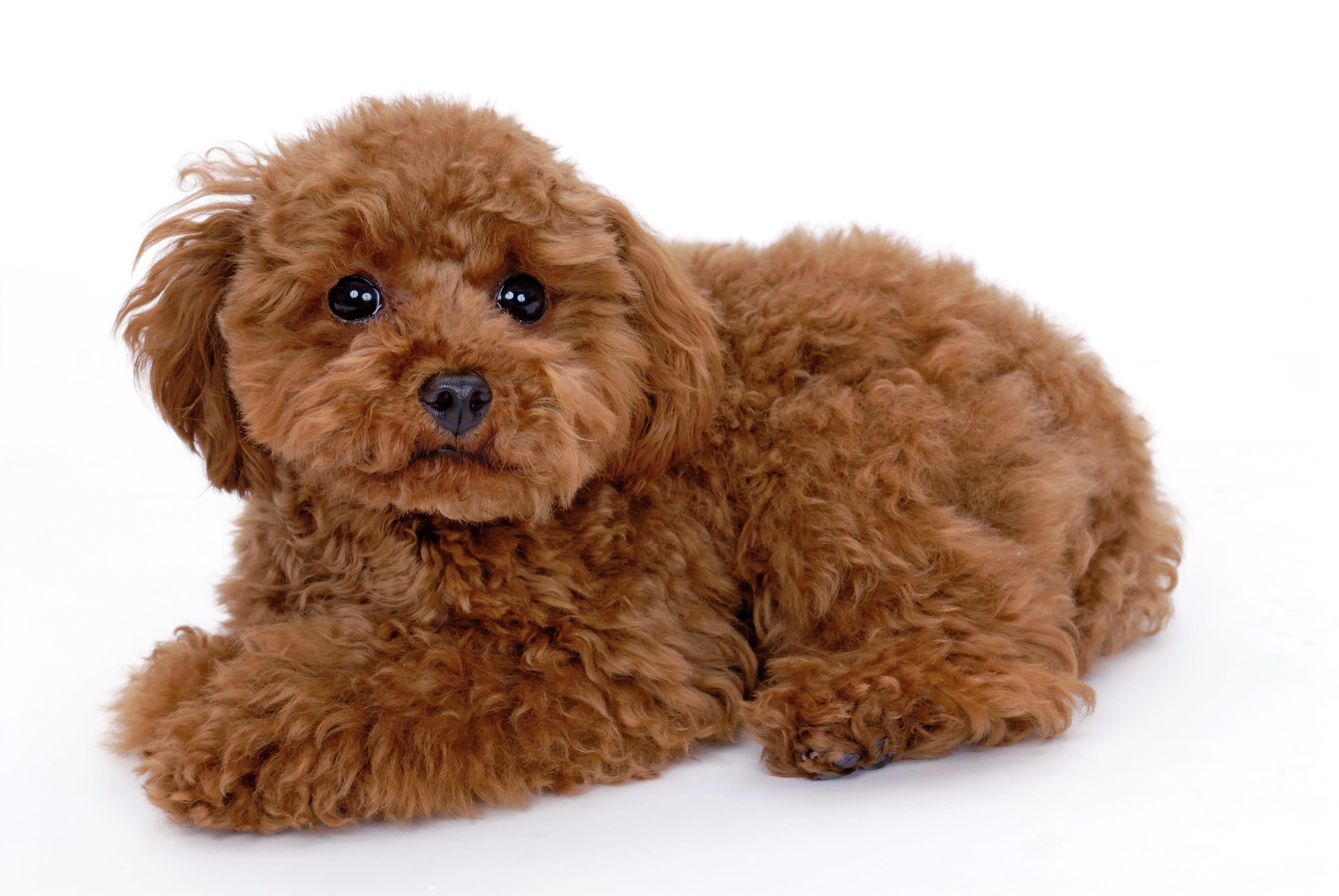 トイプードルの子犬を探す|ブリーダーナビ